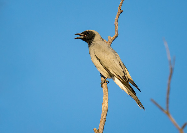 MMPI_20210410_MMPI0076_0002 - Black-faced Cuckooshrike (Coracina novaehollandiae) calling from a tree branch.