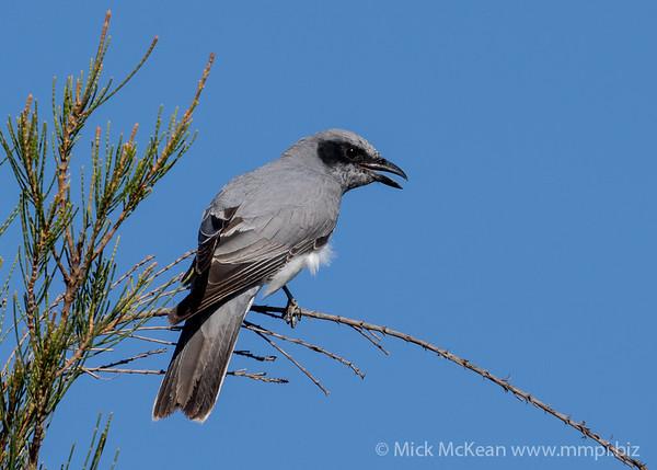 MMPI_20201121_MMPI0064_0012 - Black-faced Cuckooshrike (Coracina novaehollandiae) calling from a Casuarina tree.