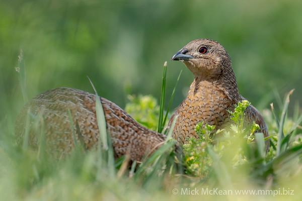 MMPI_20201121_MMPI0064_0020 - Brown Quail (Coturnix ypsilophora) pair feeding amongst the grass.