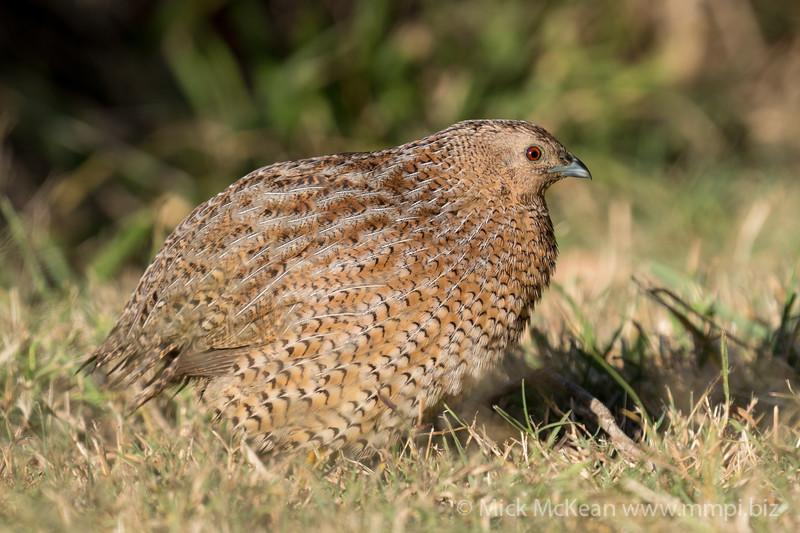 MMPI_20210821_MMPI0076_0009 - Brown Quail (Coturnix ypsilophora) standing on the grass.