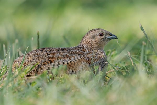MMPI_20201121_MMPI0064_0021 - Brown Quail (Coturnix ypsilophora) feeding amongst the grass.