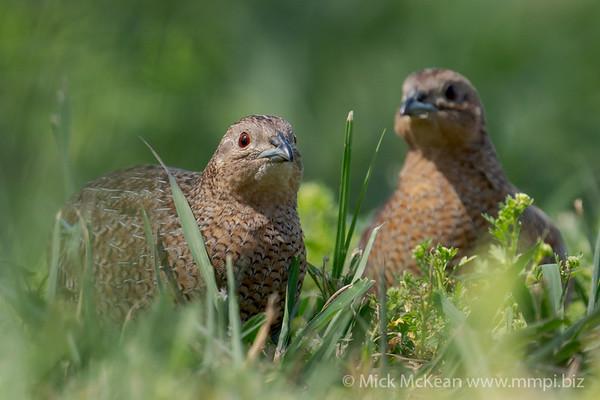 MMPI_20201121_MMPI0064_0019 - Brown Quail (Coturnix ypsilophora) pair feeding amongst the grass.