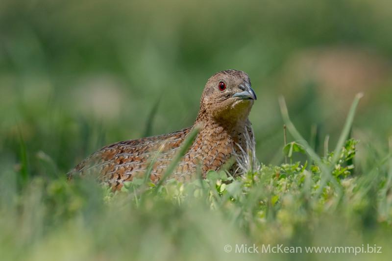 MMPI_20201121_MMPI0064_0017 - Brown Quail (Coturnix ypsilophora) feeding amongst the grass.