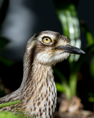 MMPI_20200911_MMPI0067_0021 - Bush Stone-curlew (Burhinus grallarius) standing in a garden bed. This bird and its partner spent most days in this spot beside a busy entrance gate.