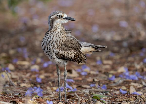 MMPI_20211004_MMPI0076_0007 - Bush Stone-curlew (Burhinus grallarius) standing in a garden.