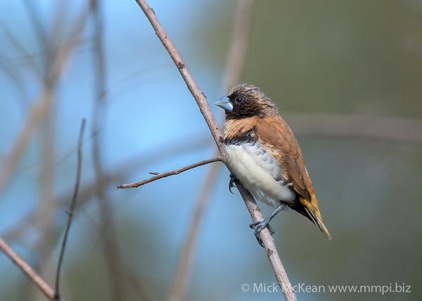 MMPI_20200613_MMPI0064_0010 - Chestnut-breasted Mannikin (Lonchura castaneothorax) perching on a branch.