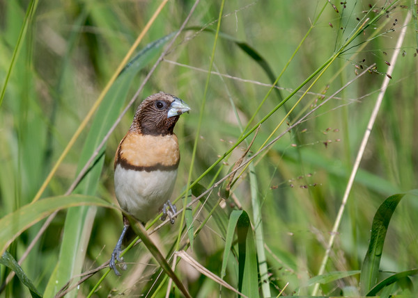 MMPI_20210410_MMPI0076_0020 - Chestnut-breasted Mannikin (Lonchura castaneothorax) feeding on grass seed heads.