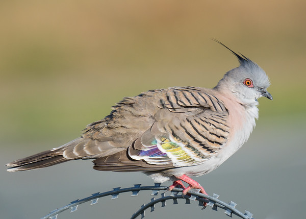 _7R40229 - Crested Pigeon (Ocyphaps lophotes) percvhing on a razor wire fence.