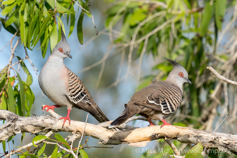 MMPI_20201031_MMPI0064_0001 - Crested Pigeon (Ocyphaps lophotes) pair perching in a Melaleuca tree.