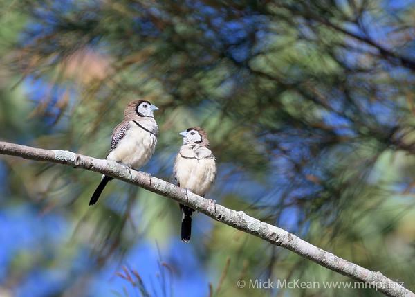 MMPI_20200606_MMPI0064_0007 - Double-barred Finch (Taeniopygia bichenovii) pair on a tree branch.