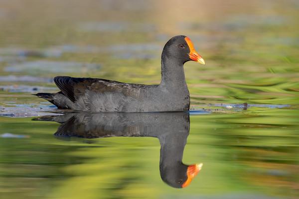 MMPI_20210911_MMPI0076_0008 - Dusky Moorhen (Gallinula tenebrosa) swimming on a lake.