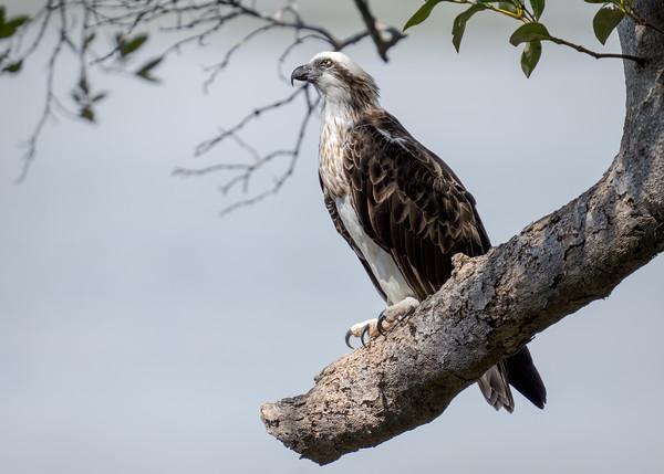 _7R45365 - Eastern Osprey (Pandion cristatus) perching on a large broken Mangrove tree branch.