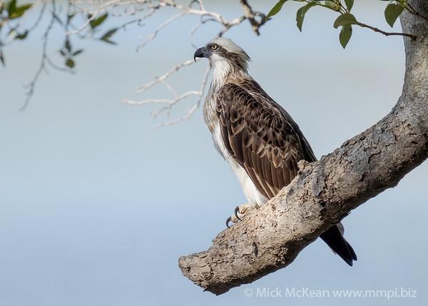_7R45159 - Eastern Osprey (Pandion cristatus) perching on a large broken Mangrove tree branch.