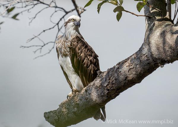_7R45274 - Eastern Osprey (Pandion cristatus) perching on a large broken Mangrove tree branch.