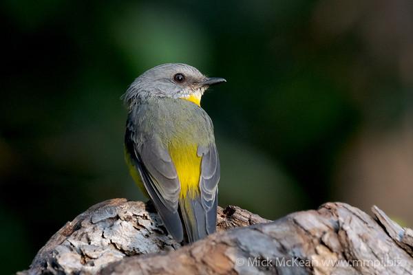 MMPI_20201204_MMPI0064_0030 - Eastern Yellow Robin (Eopsaltria australis) perching on a log.