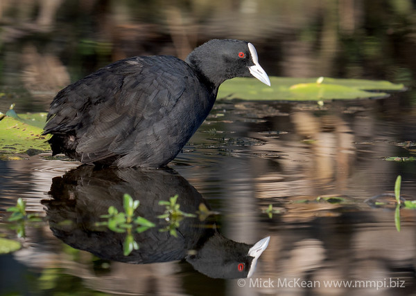 MMPI_20210313_MMPI0076_0003 - Eurasian Coot (Fulica atra) standing in a lake with reflection.