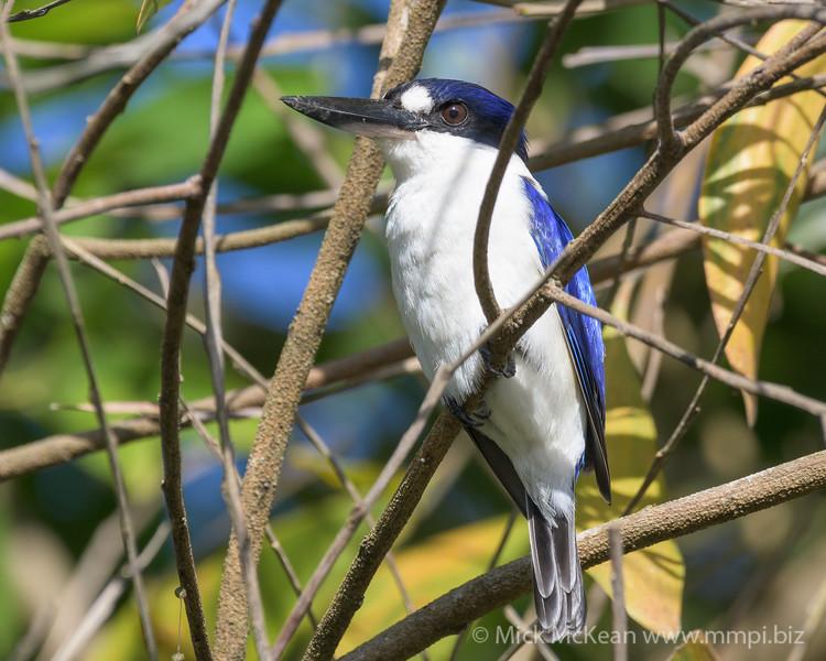 MMPI_20190828_MMPI0059_0006 - Forest Kingfisher (Todiramphus macleayii) .