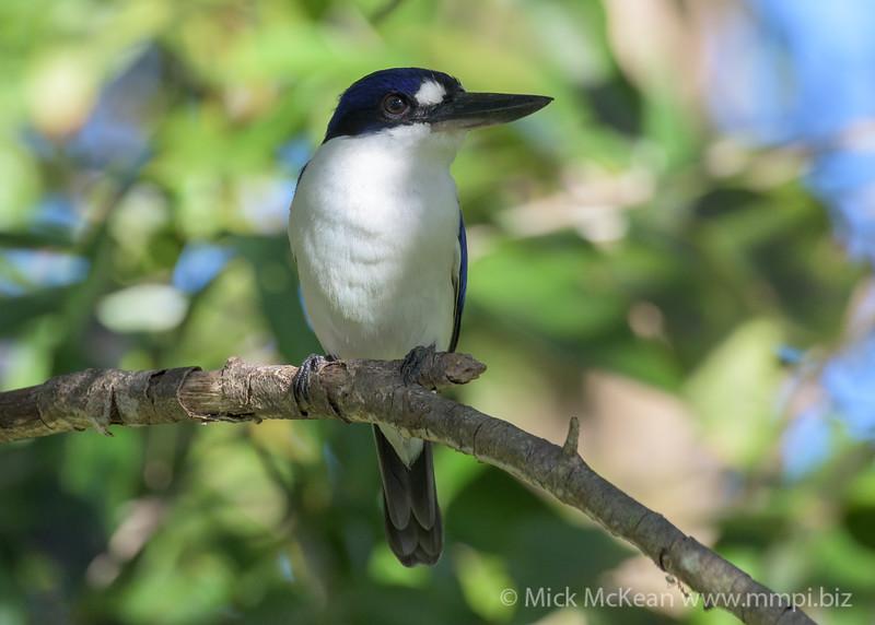 MMPI_20190828_MMPI0059_0004 - Forest Kingfisher (Todiramphus macleayii) .