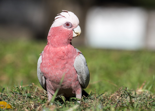 MMPI_20201111_MMPI0064_0013 - Galah (Eolophus roseicapilla) (female) on the ground with crest partially raised.