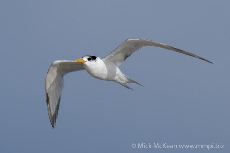 MMPI_20200829_MMPI0064_0009 - Greater Crested Tern (Thalasseus bergii) in flight.