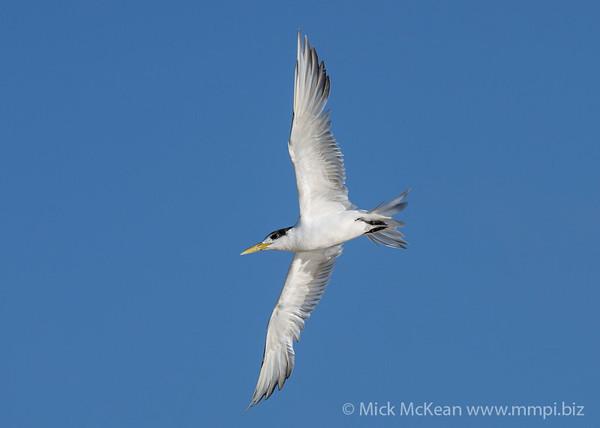 MMPI_20200829_MMPI0064_0006 - Greater Crested Tern (Thalasseus bergii) in flight.
