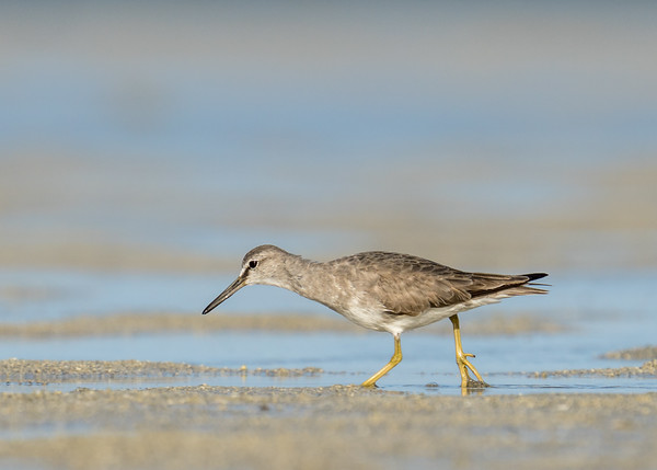 MMPI_20200909_MMPI0067_0030 - Grey-tailed Tattler (Tringa brevipes) searching for food on the sandflats.