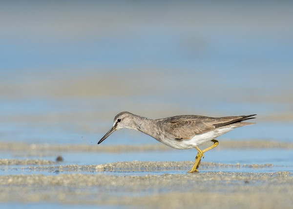 MMPI_20200909_MMPI0067_0031 - Grey-tailed Tattler (Tringa brevipes) searching for food on the sandflats.