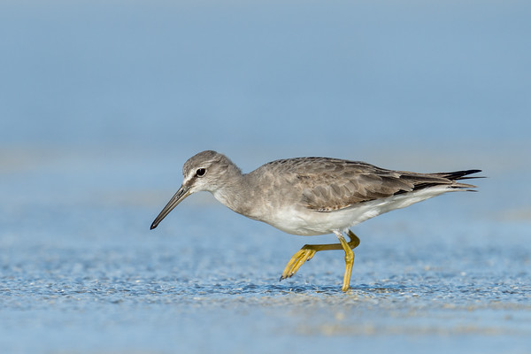 MMPI_20200909_MMPI0067_0035 - Grey-tailed Tattler (Tringa brevipes) searching for food on the sandflats.