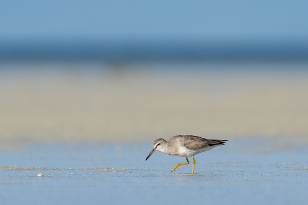 MMPI_20200909_MMPI0067_0029 - Grey-tailed Tattler (Tringa brevipes) searching for food on the sandflats.