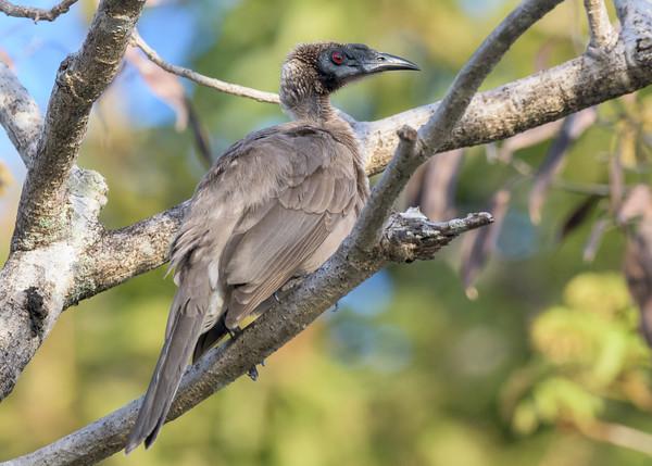MMPI_20190830_MMPI0059_0072 - Helmeted Friarbird (Philemon buceroides) .