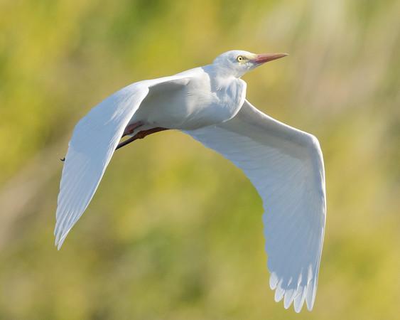 MMPI_20210823_MMPI0076_0003 - Intermediate Egret (Egretta intermedia) in flight.