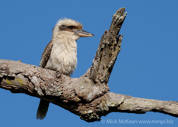MMPI_20201128_MMPI0064_0002 - Laughing Kookaburra (Dacelo novaeguineae) perching on a dead tree branch.