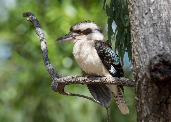 MMPI_20201109_MMPI0064_0014 - Laughing Kookaburra (Dacelo novaeguineae) perching on a Eucalypt branch.