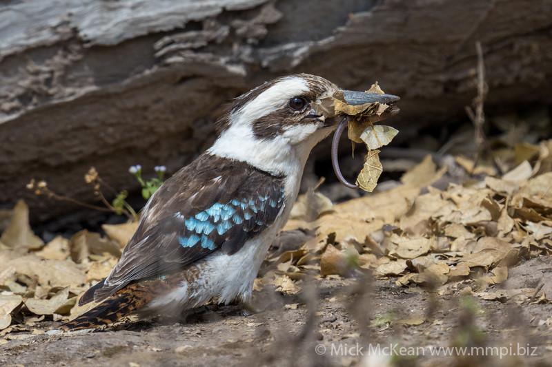 MMPI_20200909_MMPI0067_0050 - Laughing Kookaburra (Dacelo novaeguineae) feeding on a Skink.