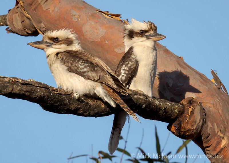 MMPI_20211017_MMPI0076_0018 - Laughing Kookaburra (Dacelo novaeguineae) pair perching in a Eucalypt tree at sunset.