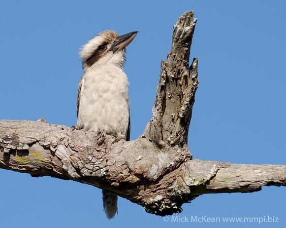 MMPI_20201128_MMPI0064_0003 - Laughing Kookaburra (Dacelo novaeguineae) perching on a dead tree branch.