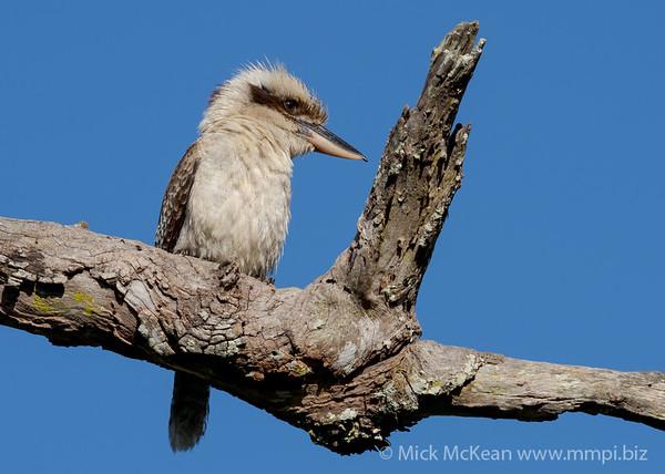 MMPI_20201128_MMPI0064_0001 - Laughing Kookaburra (Dacelo novaeguineae) perching on a dead tree branch.