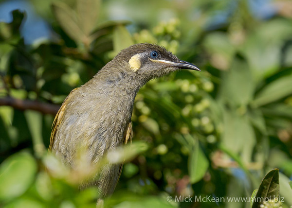 MMPI_20201121_MMPI0064_0014 - Lewin's Honeyeater (Meliphaga lewinii) on alert while it was feeding from a Brazilian Pepper Tree.