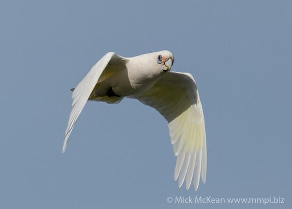 _7R45790 - Little Corella (Cacatua sanguinea) in flight.