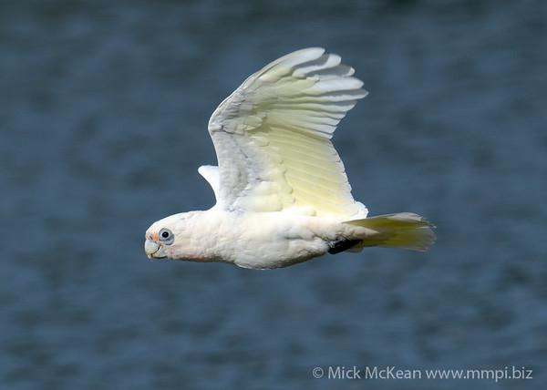 _7R45966 - Little Corella (Cacatua sanguinea) in flight.