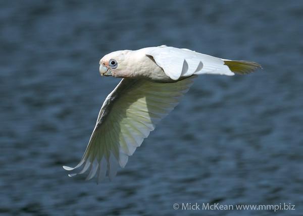 _7R45964 - Little Corella (Cacatua sanguinea) in flight.