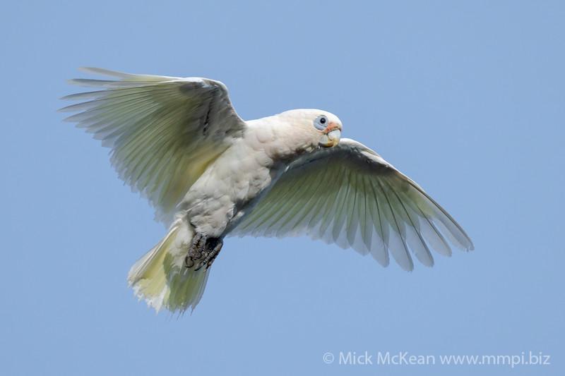 _7R45565 - Little Corella (Cacatua sanguinea) in flight slowing to land.