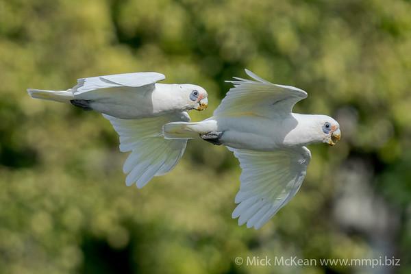 _7R46035 - Little Corella (Cacatua sanguinea) pair in flight.