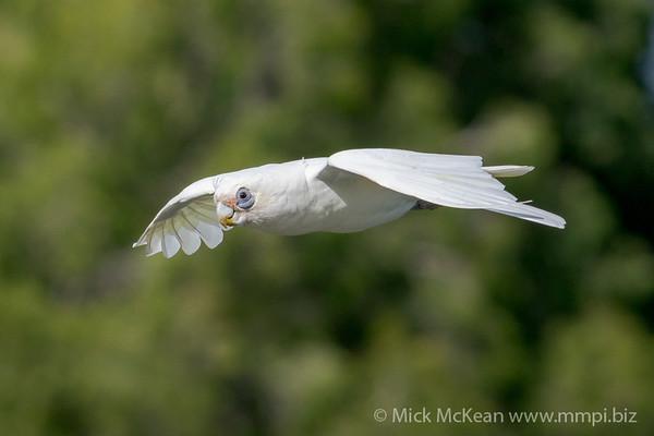 _7R46069 - Little Corella (Cacatua sanguinea) in flight.
