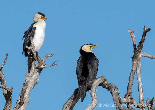 MMPI_20200823_MMPI0064_0021 - Little Pied Cormorant (Microcarbo melanoleucos) pair perching on a gnarled dead tree..