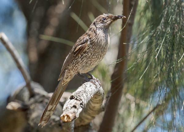 MMPI_20201004_MMPI0064_0012 - Little Wattlebird (Anthochaera chrysoptera) perching in a tree.