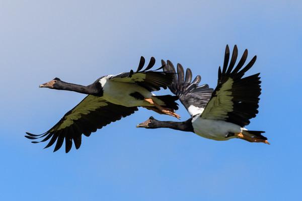 MMPI_20190830_MMPI0059_0037 - Magpie Goose (Anseranas semipalmata) .