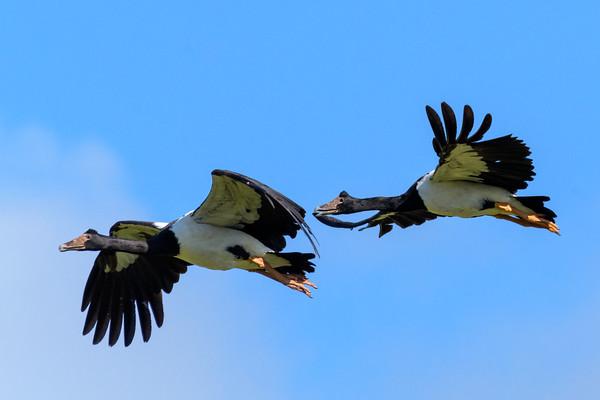 MMPI_20190830_MMPI0059_0036_ME - Magpie Goose (Anseranas semipalmata) .