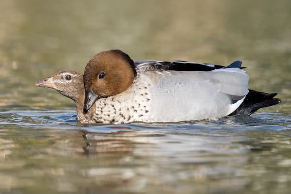 MMPI_20210823_MMPI0076_0011 - Maned Duck (Chenonetta jubata) pair mating on a lake.