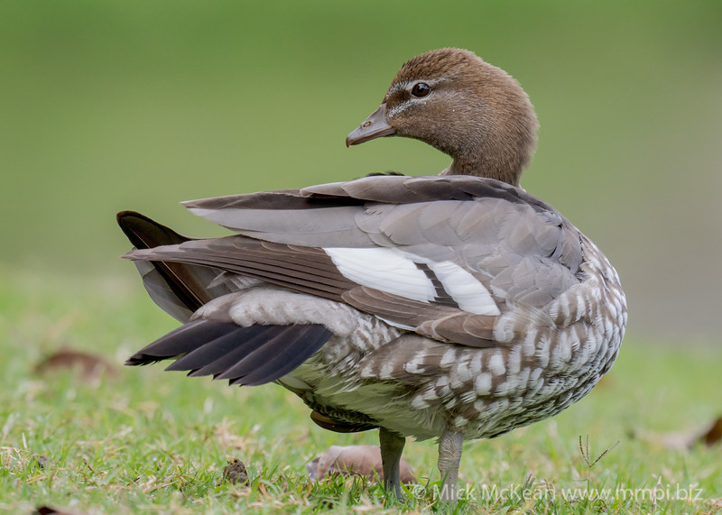 MMPI_20200815_MMPI0064_0003 - Maned Duck (Chenonetta jubata) (female) standing at the edge of a lake.